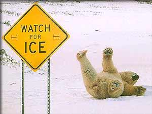 Polar_Bear01 - Whoops